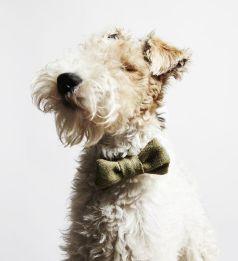 bowtie dog