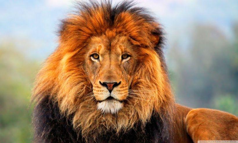 43782-lion-desktop-wallpapers